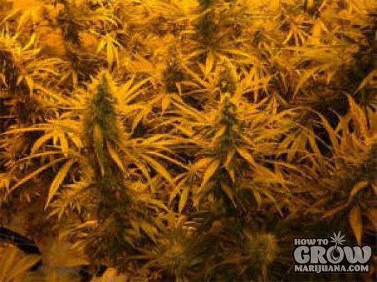 Jacky White Seeds