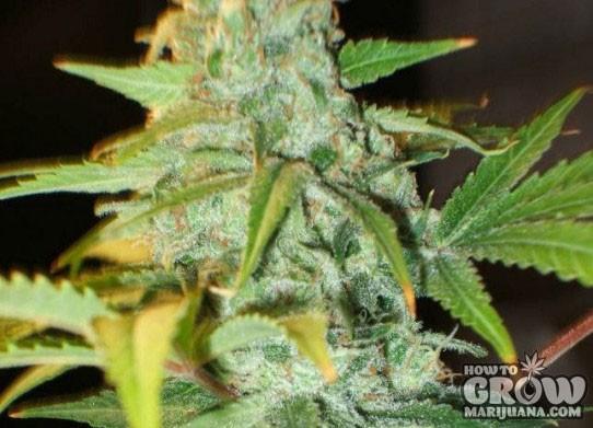 Nirvana – KC33 x Master Kush AutoFlowering Feminized Seeds