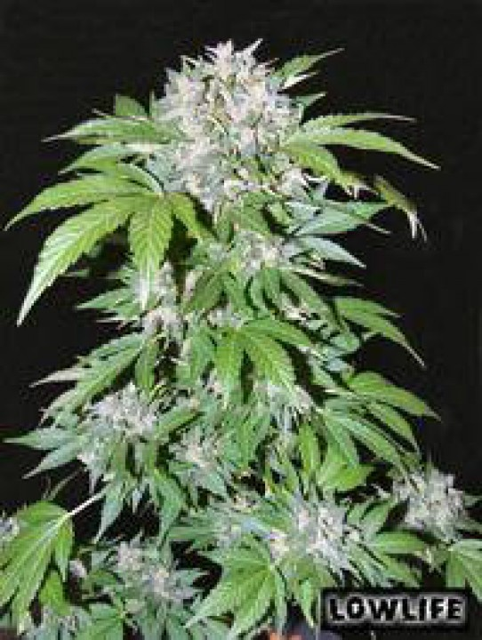 Lowlife Blueberry Autoflowering Feminized Marijuana Seeds
