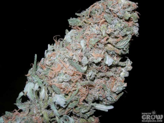 Sensi – Maple Leaf Indica Marijuana Seeds