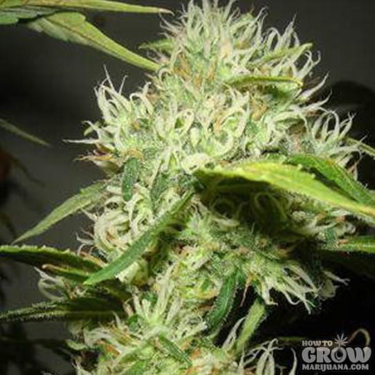 Catweazle – Moonflower Marijuana Seeds