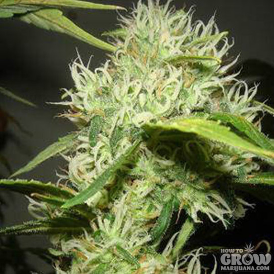 Catweazle – Moonflower Marijuana Seeds