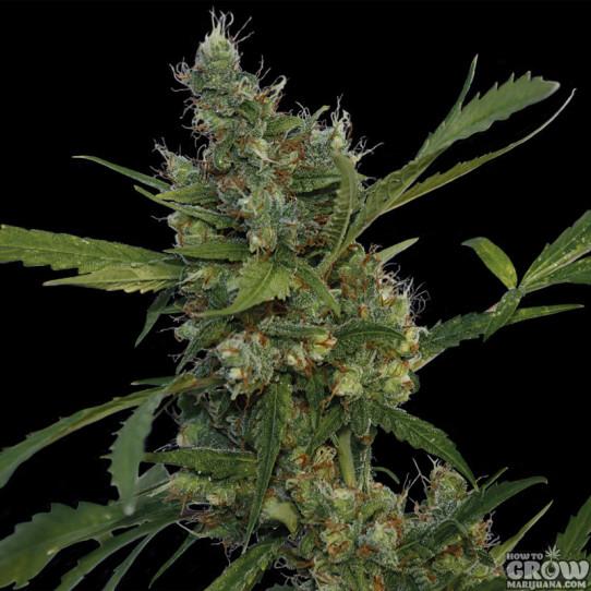 Barneys – Morning Glory Feminized Marijuana Seeds