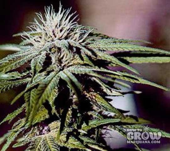 Barney –  Night Shade Feminised Seeds