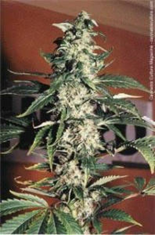 Nirvana Ice Feminized Marijuana Seeds
