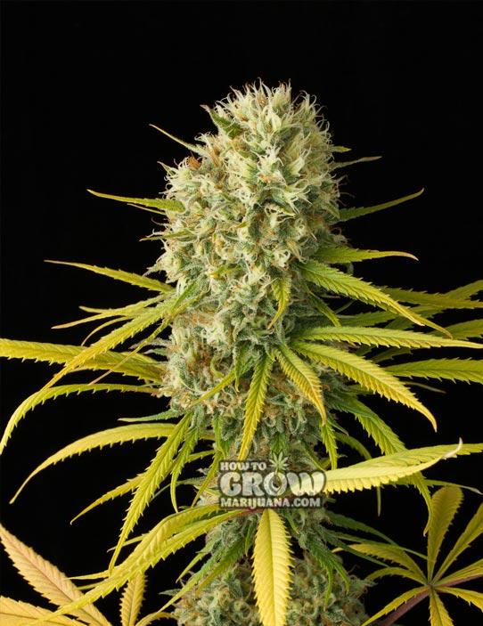 Original Haze Feminized Marijuana Seeds