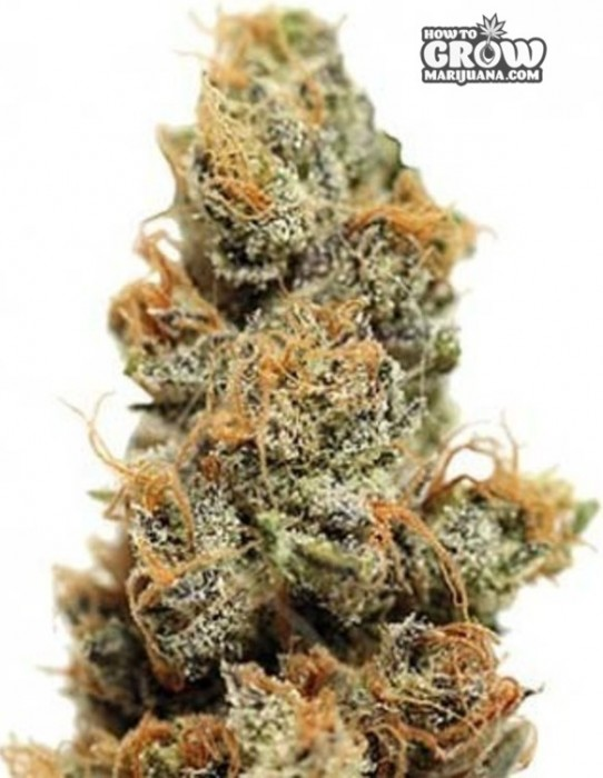Barneys Pineapple Chunk Feminized