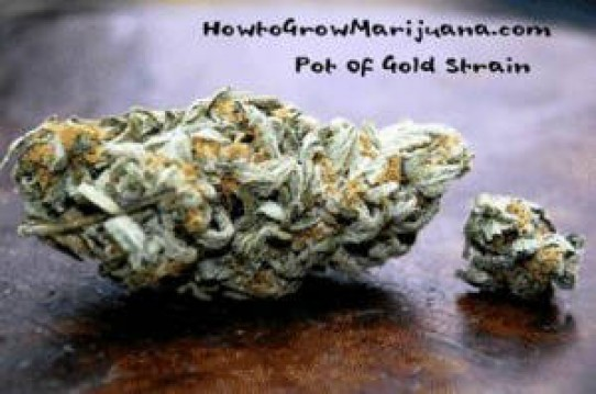 Pot of Gold Weed Seeds