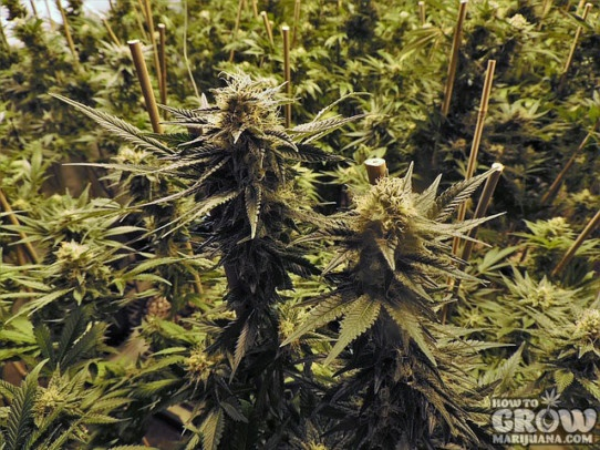 Quick pro marijuana growers checklist for awesome big buds. Tips by the masters.
