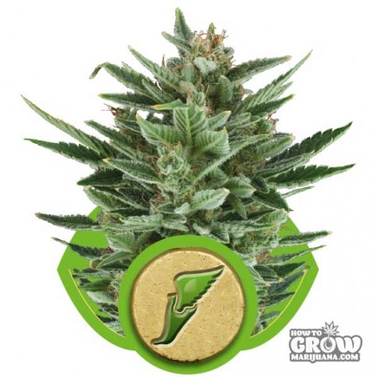 Royal Queen – Quick One Autoflowering Feminized Seeds