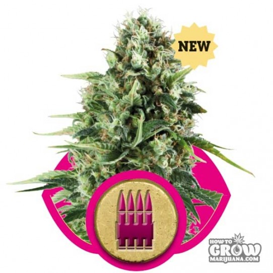 Royal Queen – Royal AK Seeds