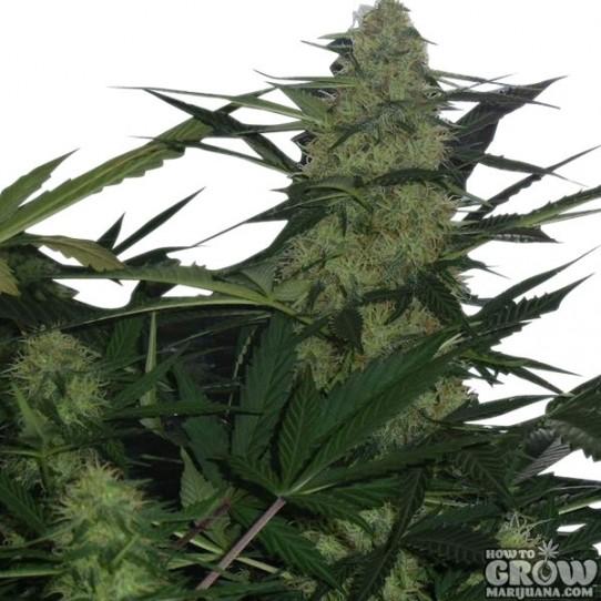 Royal Queen – Royal AK Feminized Marijuana Seeds