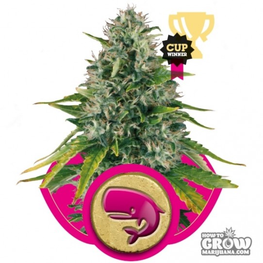 Royal Queen – Royal Moby Seeds