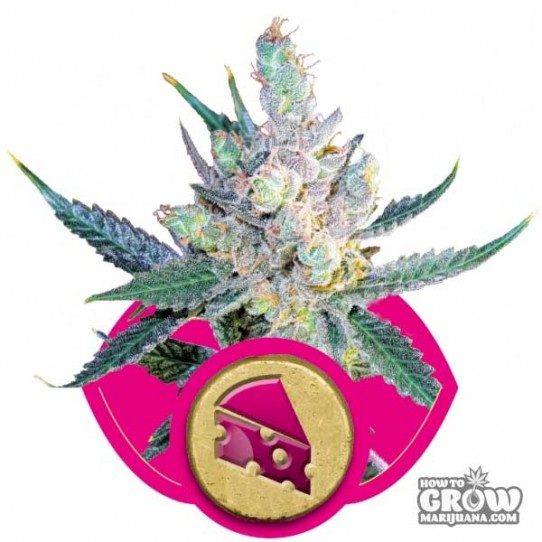 Royal Queen – Royal Cheese Feminized Seeds