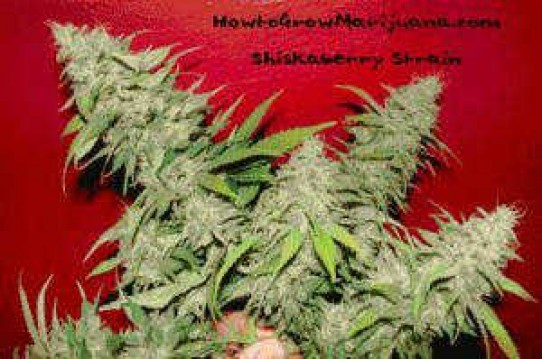 Shiskaberry Weed Seeds
