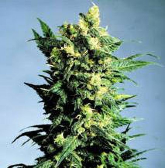 Shiva Weed Seeds
