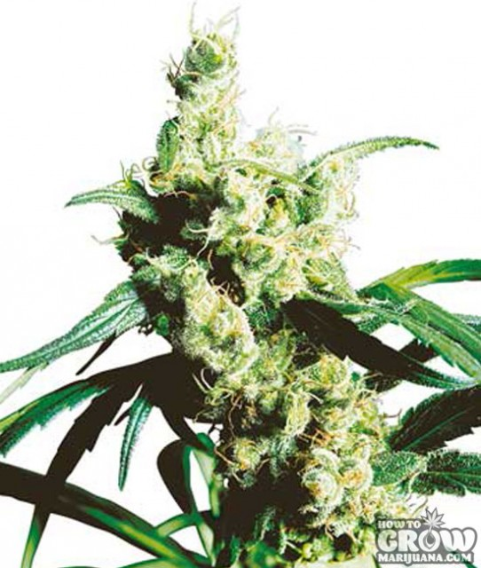 Silver Haze Feminized Marijuana Seeds