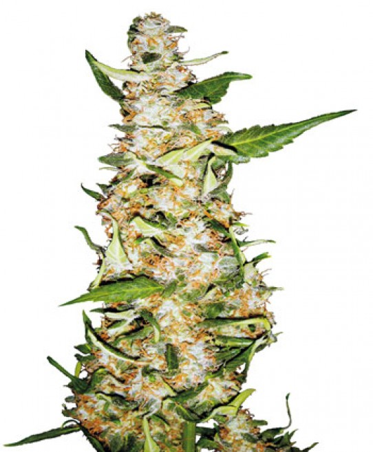 Skunk #1 Automatic Weed Seeds