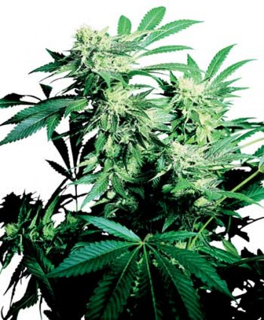 Sensi – Skunk Kush Marijuana Seeds