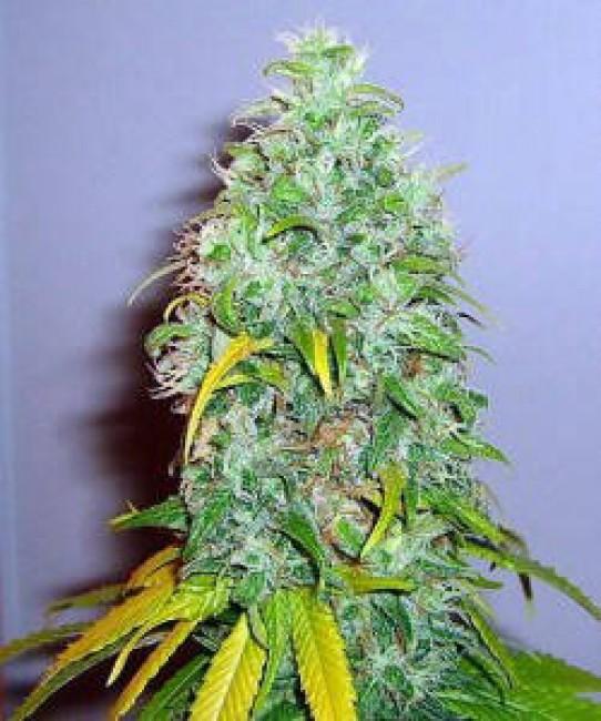 Skunk #1 Weed Seeds