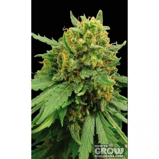 Blimburn – Super Automatic Seeds