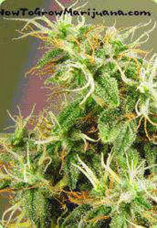 Tasman Haze Weed Seeds