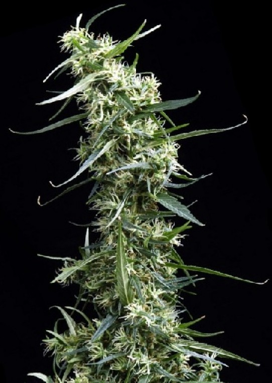 Green House – Thai Feminized Seeds