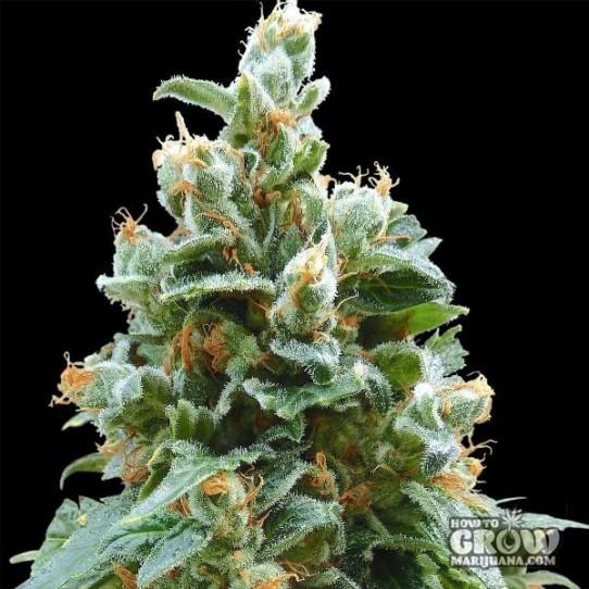 Barneys – Vanilla Kush Feminized Seeds