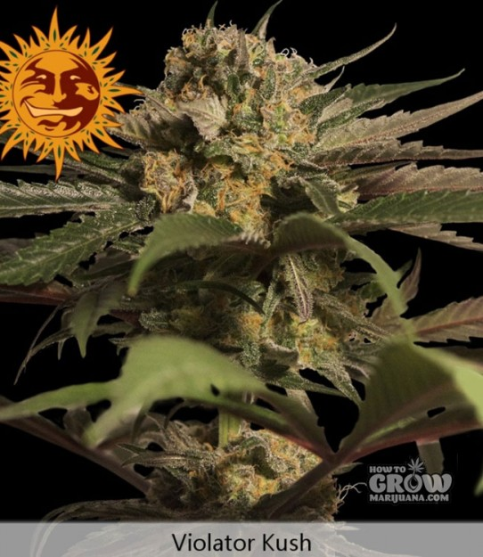 Barneys – Violator Kush Feminized Marijuana Seeds