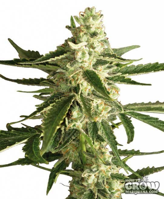 Sensi White Label – White Diesel Haze Automatic Seeds