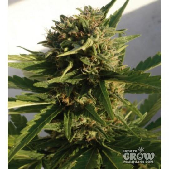 Buddha – Red Dwarf Autoflowering Feminized Marijuana Seeds