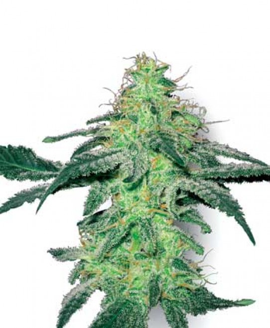 White Label White Skunk Seeds