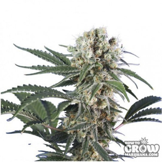 Sensi Smile – Black Domina Feminized Seeds